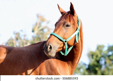 Head of a young chestnut horse against natural background