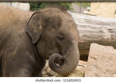 Head of a young elephant with his trunk in a curl