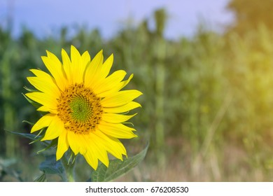 Head of a young sunflower against the background of a field under the sun