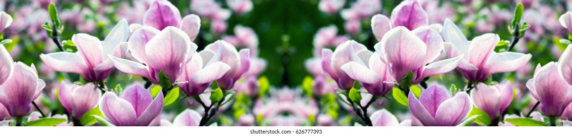 header  panorama pale pink magnolia flower on a branch against the sky. shallow depth of field.  front-end