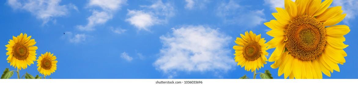 header panorama  summertime blue sky clouds flower sunflower for design website