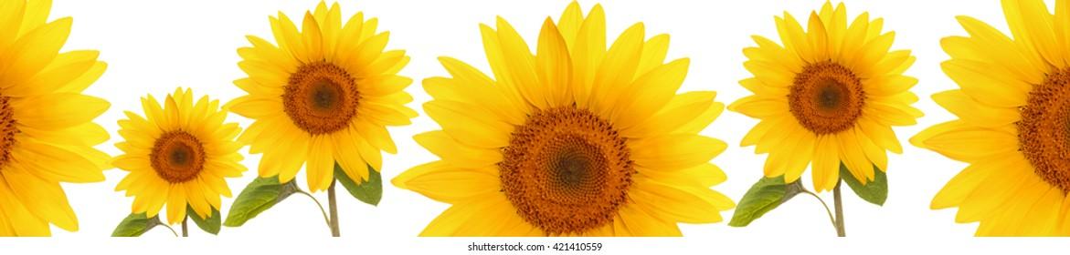 header web  panorama sunflower flower full length  on stem with leaves on white background   cover
