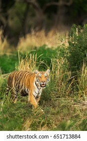 "Head-on ""Paro"" in the addictive ""ganja"" fields in Dhikala, Jim Corbett National Park..."