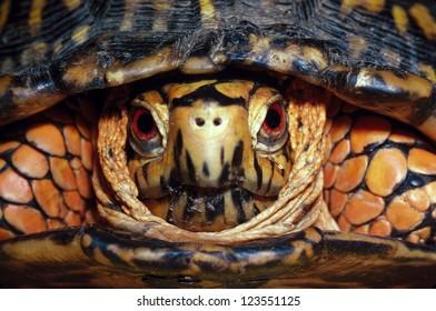 Head-on shot of an Eastern Box Turtle, male, Terrapene carolina
