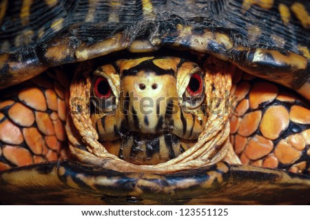 Head-on shot of an Eastern Box Turtle, male, Terrapene carolina