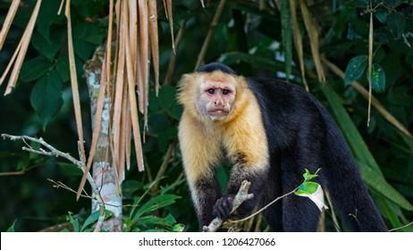 Head-on view Capuchin Monkey in tree