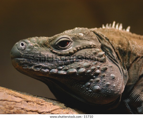Head-only portrait of a blue iguana.