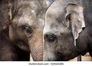 Heads of elephants in Sri Lanka