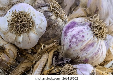 heads of garlic close-up on the hay