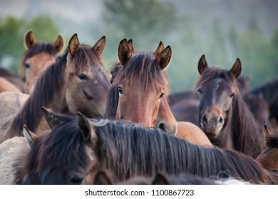 Heads of hutsul horses
