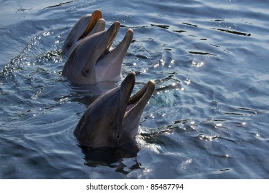 Heads of three Bottlenose dolphins or Tursiops truncatus above the water surface