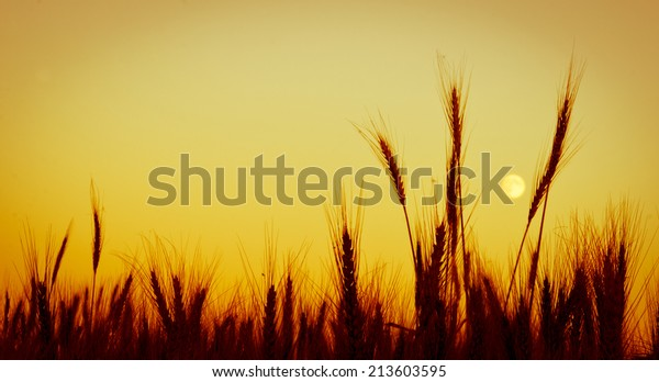 heads-wheat-against-evening-sky-600w-213