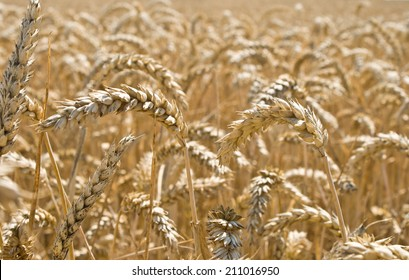 Heads of wheat ready for harvest