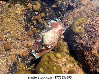 Headshield Slug swimming  on seaweed and rocks Australia