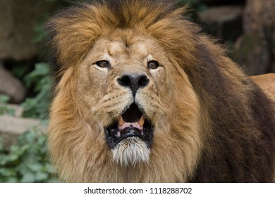 Headshot of a adult male lion.