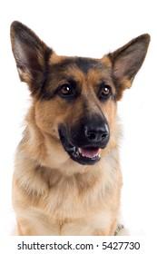 headshot of agerman shepherd dog