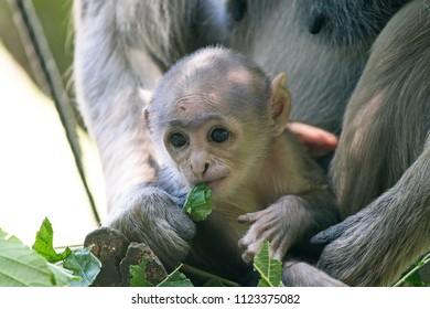 Headshot of a Baby monkey from a Hanuman langur (Semnopithecus entellus) monkey