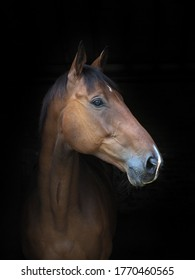 A headshot of a bay horse against a black background.