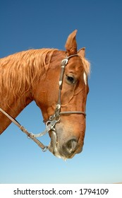 Head-shot of a beautiful chestnut stallion with bridle on against a blue sky