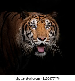 Headshot of Bengal tiger on black with copyspace.