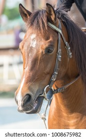 Headshot of a brown horse, Brown horse put on the horse harness.