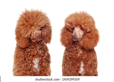 Headshot comparison of a poodle before and after grooming