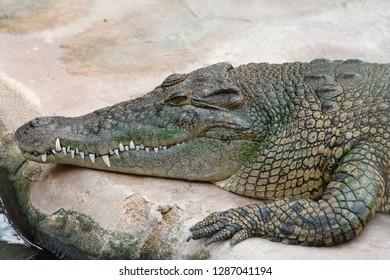 Headshot of a crocodile relaxing on a rock