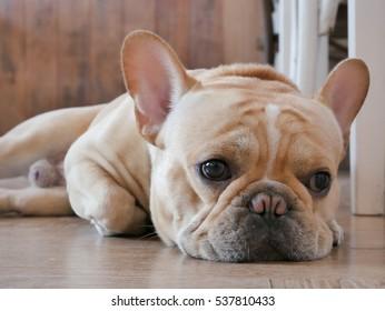 Headshot of cute male french bulldog feeling boring and lying on the floor.