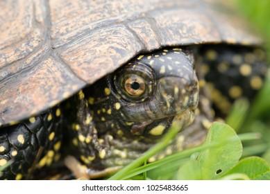 Headshot of european pond turtle on land, in green grass