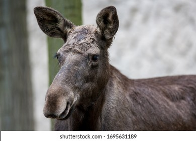 Headshot of a female western moose (Alces alces andersoni)