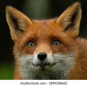 a headshot of a fox