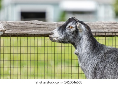 Headshot of a gray goat