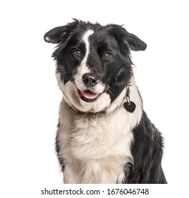 Headshot of a happy Border Collie, isolated on white, isolated on white