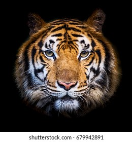 Headshot of Indochinese tiger (Panthera tigris corbetti) on black with copyspace.