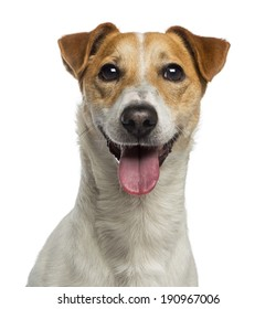 Headshot of a Jack Russell Terrier (18 months old)