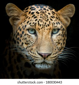 Headshot of jaguar portrait.