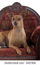 headshot of a mixed breed Pinscher dog laying down on a red barok couch