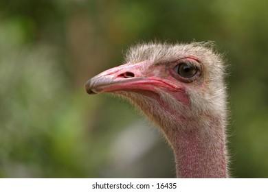 Headshot Ostrich - Looking Left