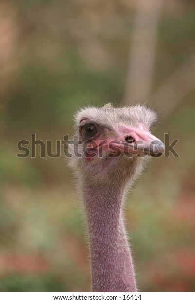 Headshot Ostrich - Looking Right