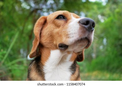 Headshot portrait of beagle dog outdoor in the park with the sunlight passing through.