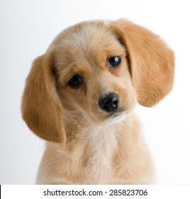 Headshot of a puppy dog with head cocked in an inquisitive manner isolated against a white background