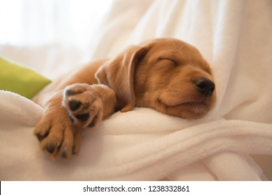 Headshot of sleeping puppy / Two months old vizsla mix puppy sleeping on white sheets