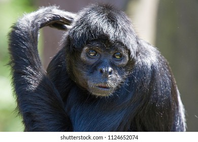 Headshot of Springtamarin (Callimico goeldii) monkey in the sun