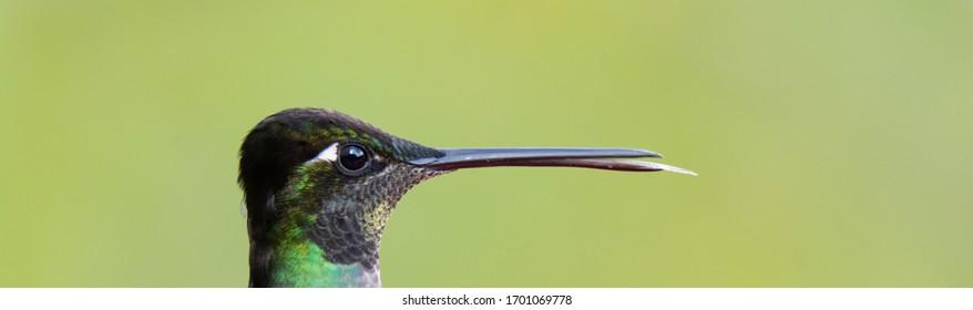 Headshot of Talamanca Hummingbird sticking its tongue out with beak slightly open