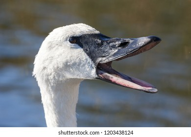 headshot of trumpeter swan  in Vancouver BC Canada.