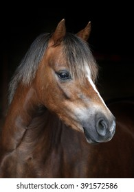 A headshot of a Welsh pony against a black background.