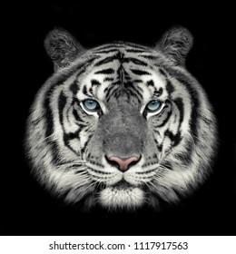 Headshot of White tiger face (Panthera tigris corbetti) on black with copyspace.