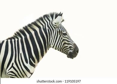 Headshot of Zebra