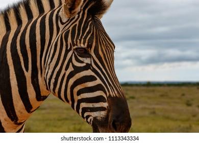Headshot of a Zebra in the field