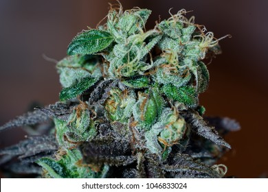 Headstash Cannabis Variety. Mainly OG variety derived from a Cherry Pie, Girl Scout Cookies and two distinct OG varieties. The smell of its flowers are gassy earths bridging into cherried pines.